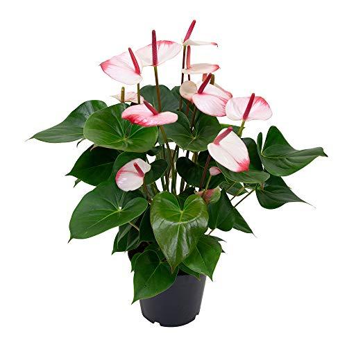 "Anthurium andreanum ""Karma"" rot inkl. rotem Ziertopf | Araceae | Flamingoblume | Höhe 60-65 cm | Elho Topf Ø 18 x 17 cm"