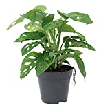 Monstera obliqua 'Monkey Leaf'   Fensterblatt   Luftreinigend   Höhe 20-30cm   Topf-Ø 12cm