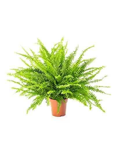 AIRY Schwertfarn Zimmerpflanze, Nephrolepis exaltata (12 cm Topf). Verbessert Raumklima und Luftqualität. Passend zum AIRY Luftreiniger.
