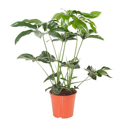 Indoor-Helden Philodendron 'Green Wonder' - Baumfreund, Topf-Ø: 24 cm, Höhe: 80 cm, Baumlieb, Zimmerpflanze