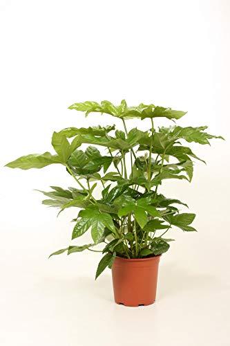 Zimmeraralie 40 cm Fatsia japonica Zimmerpflanze