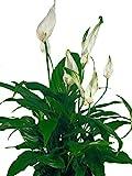Einblatt weiß - Wundervolle Zimmerpflanze für jeden Standort geeignet