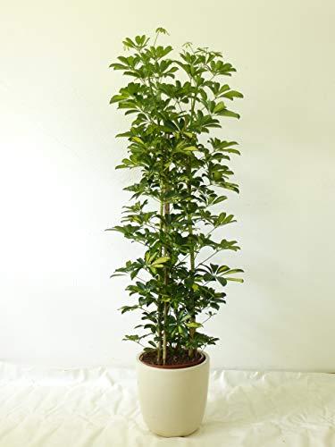 [Palmenlager] Schefflera arboricola'Gold Capella' 170 cm // Zimmerpflanze