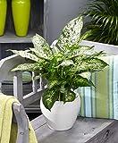 Dieffenbachia seguine 'Compacta' | Araceae | Giftaron | Lieferhöhe 35-45 cm | Topfgröße Ø 12 cm