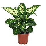 Dieffenbachia seguine'Compacta' | Araceae | Giftaron | Lieferhöhe 35-45 cm | Topfgröße Ø 12 cm