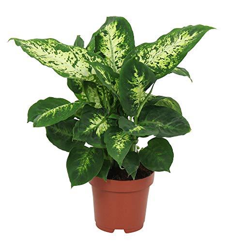 "Dieffenbachia seguine ""Compacta"" | Araceae | Giftaron | Lieferhöhe 35-45 cm | Topfgröße Ø 12 cm"