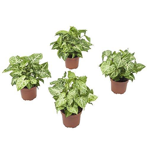 Zimmerpflanzen von Botanicly – 4 × Purpurtute – Höhe: 25 cm – Syngonium podophyllum Arrow