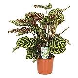 Calathea makoyana | Calathea Korbmarante | Zimmerpflanzen groß | Höhe 70-85 cm | Topf-Ø 17 cm