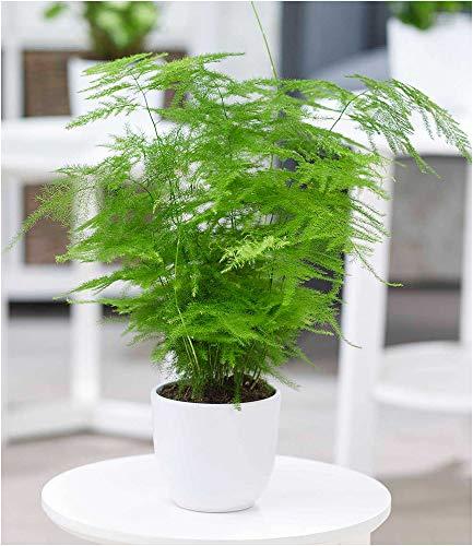 BALDUR-Garten Asparagus Plumosa, 1 Pflanze Zierspargel Zimmerpflanze