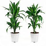 Zimmerpflanzen von Botanicly – 2 × Drachenbaum – Höhe: 65 cm – Dracaena fragr. janet craig