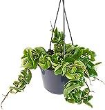 Fangblatt - Hoya carnosa compacta - wunderschöne hängende Zimmerpflanze ebenso Wachsblume oder Porzellanblume genannt - pflegeleichte Pflanze für das Wohnzimmer mit fantastischen Blüten