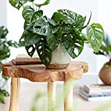 Monstera obliqua 'Monkey Leaf' | Fensterblatt | Luftreinigend | Höhe 20-30cm | Topf-Ø 12cm